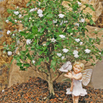 1555-Snowrose-Double-White-Rose-Fairy-Small