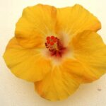 Hibiscus Chiffon Breeze