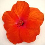 Hibiscus Montego Wind