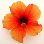 Hibiscus Reggae Breeze