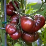 Heirloom Black Krim