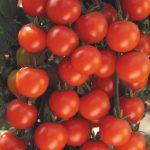 Tomato Sweet Baby Girl