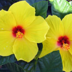 Hibiscus Yellow Red Eye