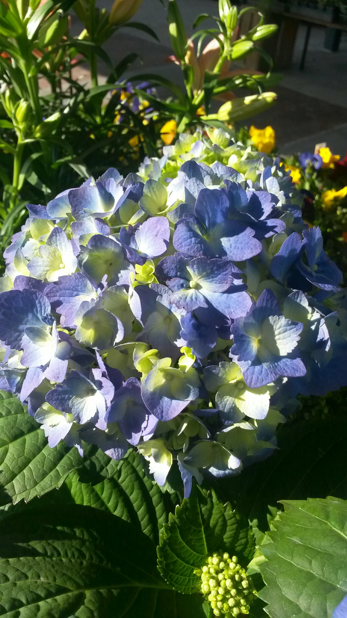 Early spring flowers northgate greenhouses hydrangea blue mightylinksfo
