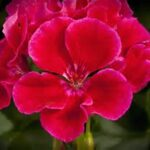 Geranium Calliope Crimson Flame
