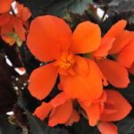 Begonia Unstoppable Fire Orange
