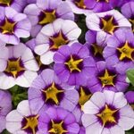 Calibrochoa Proven Winner Evening Star