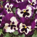 pansy purple Wing