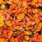 Nemesia Proven Winner Blood Orange