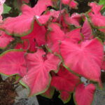 Caladium Cherry Tart Sun