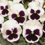 Pansy White Wing