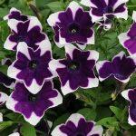 Petunia Cascadia Rim Violet and Magenta