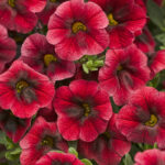 Calibrochoa Proven Winner Pomegranate