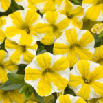 Calibrochoa Proven Winner Lemon Slice