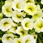 Calibrochoa Proven Winner Yellow Chiffon