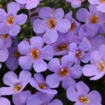 Bacopa Blue Lavender