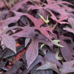 Sweet Potato Vine Blackie