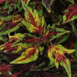 Coleus Chili Pepper