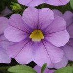 Calibrochoa C. Lavender