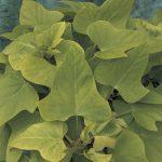Sweet Potato Vine Marguerite Lime
