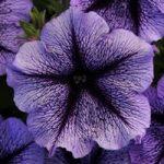Petunia Blue Burst