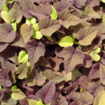 Sweet Potato Vine PW Sweet Carolyn Heart Red