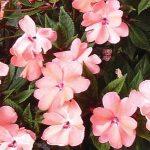 Sunpatien Coral Pink