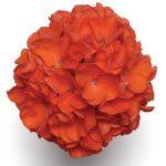 Geranium A. Tangerine