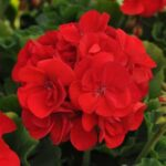 Geranium Allure Red