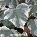 Ivy varigated