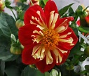 Dahlia Scarlet and Yellow