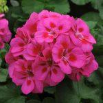 Geranium Fantasia Purple Sizzle