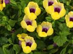 Torenia Suntory Gold