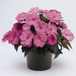 New Guinea Impatien Pink