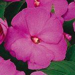 New Guinea Impatien Lavender Glow