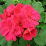 Geranium A. Cherry Rose