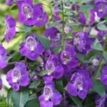 Angelonia PW blue