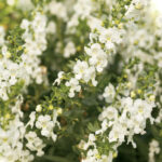 Angelonia PW White