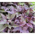 Sweet Potato Vine Bright Ideas Rusty Red