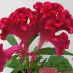 Celosia Twisted Red
