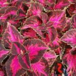 Coleus Fifth Avenue