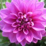 Dahlia H. Purple