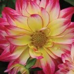 Dahlia H. Tropical Breeze
