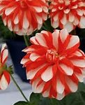 Dahlia Orange Strip