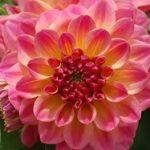 Dahlia H. Rose bicolor