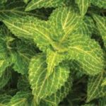 Coleus Electric Lime