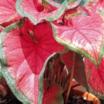 Caladium Sweet heart