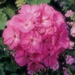 Geranium Shocking Pink