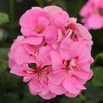 Ivy Geranium P. Pink