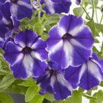 Petunia Blue Star Dust